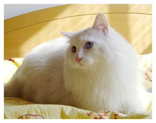 求白色长毛狮子猫一只(就是所说的波斯猫)- -2只